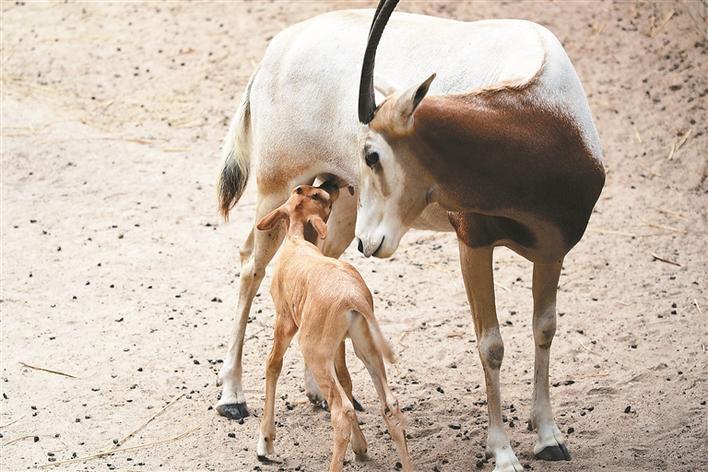 深圳野生动物园弯角剑羚宝宝很乖巧
