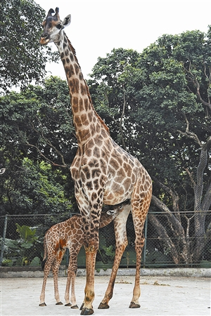 深圳野生动物园 又添长颈鹿宝宝